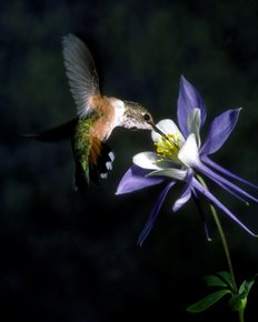 Hummingbird  Columbine 110